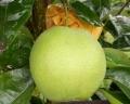 软枣猕猴桃苗,1公分软枣猕猴桃苗,软枣猕猴桃苗报价
