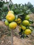 供應早熟由良蜜桔樹苗 適合云南種植早熟柑橘品種