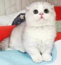 寵物貓有很多品種純種折耳貓健康無蘚折耳貓好養