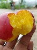 紫金早油蟠桃苗今年批發價格品種特點介紹