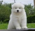 廣州養狗條例 廣州買薩摩耶小狗 薩摩耶哪有賣的