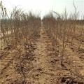 黑籽石榴苗批发价格、黑籽石榴苗多少钱一棵