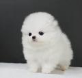 廣州越秀區周邊哪有賣狗 北京路哪有賣博美犬 寵物網