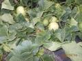 山東青島萊西李權莊甜瓜綠皮香瓜日本甜寶種植基地批發