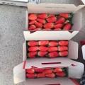 日本淡雪草莓苗批發價格 日本淡雪草莓苗多少錢一株