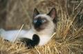 惠州哪里有卖暹罗猫,这种暹罗猫多少钱呀