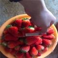出售艾沙草莓苗、新?#20998;?#33406;沙草莓苗