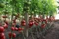 中农六号-大果硬粉番茄种子