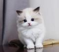 广州哪里有猫舍 广州哪里买布偶猫好 布偶猫多少钱