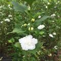 食用药用2公分粗白槿花大苗建木槿采摘园必备品种
