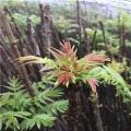 好管理的红香椿芽苗批发红香椿芽苗批发价钱、