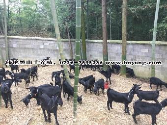 南方和北方农村适合喂养的黑山羊致富门路_移动志趣网