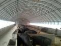 畜牧?#29575;?#29275;羊棚 连动式养殖大棚 保温养殖棚