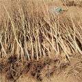 軟籽石榴苗、軟籽石榴苗每日報價