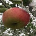 秦翠苹果苗价格是多少、秦翠苹果苗哪里有批发