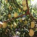 原生桃树苗、原生桃树苗价格、原生桃树苗基地