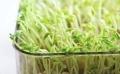 加盟芽苗菜的价值-山东益康园集团