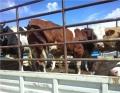 马鞍山肉牛犊肉牛销售华北牲畜交易市场
