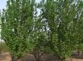 急售4公分海棠树苗价格基地