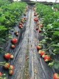 石莓三号草莓苗基地、山东石莓三号草莓苗基地