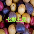 纳西族云南高寒山区的老品种土豆粉富硒土豆熟化粉