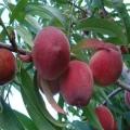 山东水蜜桃苗出售、水蜜桃苗行情