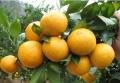 郴州哪里有皇帝柑苗出售