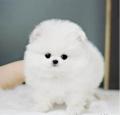 广州信誉口碑好的狗场 帝威狗场直销世界名犬 博美犬