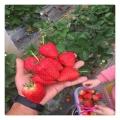 营养丰富甜宝草莓苗果个大 耐贮运根系发达早熟丰产