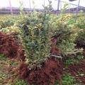 陕西苗木繁育种植中心 绿篱苗球型造型风景树