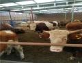 秦皇岛河北肉牛市场现在肉牛出栏价格 肉牛犊肉牛养殖