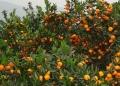 玉林哪里有卖柑橘苗