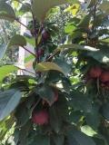 矮化短枝苹果苗、矮化短枝苹果苗多少钱一棵