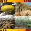枳壳树苗什么地方出售建果园专用枳壳树苗