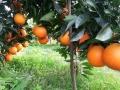 优质纽荷尔脐橙苗 30-80cm大果多汁脐橙苗