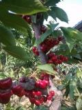 大樱桃苗,二年生大樱桃苗,大樱桃苗多少钱一棵