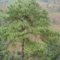 云南松茎提取物 飞松提取液 青松速溶粉 生根剂