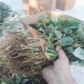 妙香七号草莓苗多少钱一颗 山东草莓苗批发价格