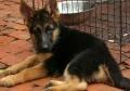 绍兴德国牧羊犬幼犬哪里有卖的 纯牧羊犬图片