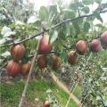 黄金梨树苗一棵多少钱