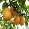 梨树苗新品种 品种全 银庄农业果树苗直销