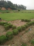 湖北武汉哪里有草皮卖