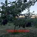 黑钻苹果苗近期卖什么价、黑钻苹果苗市场价格高