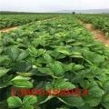 民和天仙醉草莓苗基地直供
