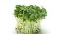加盟种植芽苗菜未来有很大前景-益康园芽苗菜技术教学