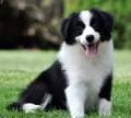 广州卖宠物狗的地方 广州在哪里买边境牧羊犬比较好