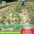 红肉苹果苗报价、红肉苹果苗种植基地