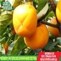 富有柿子苗哪里便宜、0.6公分柿子苗批发报价