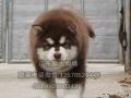 广州那里有萨摩耶犬卖 广州狗场卖萨摩耶犬多少钱一只