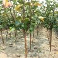 梨树苗 优质梨树苗 大量出售 现挖现卖 随时出苗